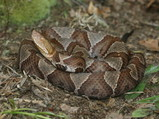 Copperhead Jigsaw Puzzle