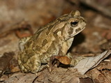 Fowlers Toad Jigsaw Puzzle