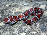 Red Milk Snake Jigsaw Puzzle