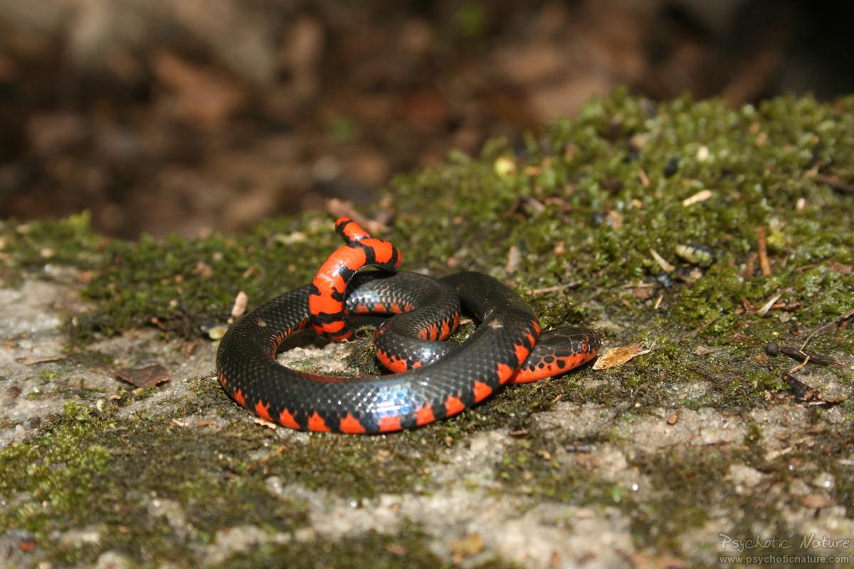Snakes Mud Snake ( Farancia abacura ) Mud Snake ( Farancia abacura )