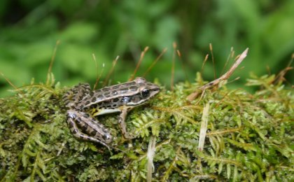 Pickerel Frog (Lithobates palustris)