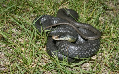 Yellowbelly Racer (Coluber constrictor flaviventris)