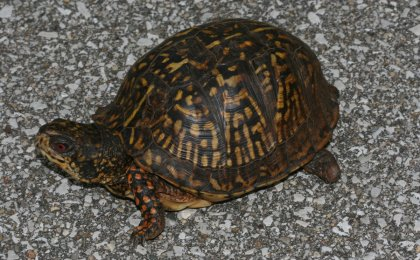 Eastern Box Turtle (Terrapene carolina carolina)