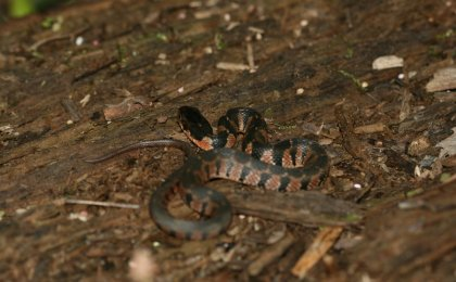 Yellow-bellied Watersnake (Nerodia erythrogaster flavigaster)
