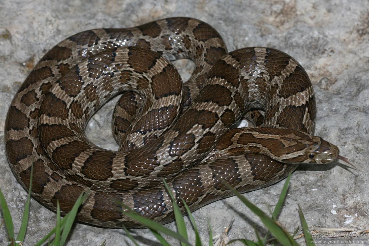 Great Plains Rat Snake (Pantherophis emoryi) - Psychotic ...