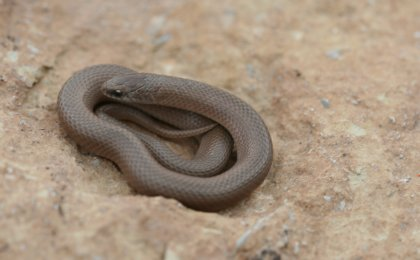 Smooth Earth Snake (Virginia valeriae)