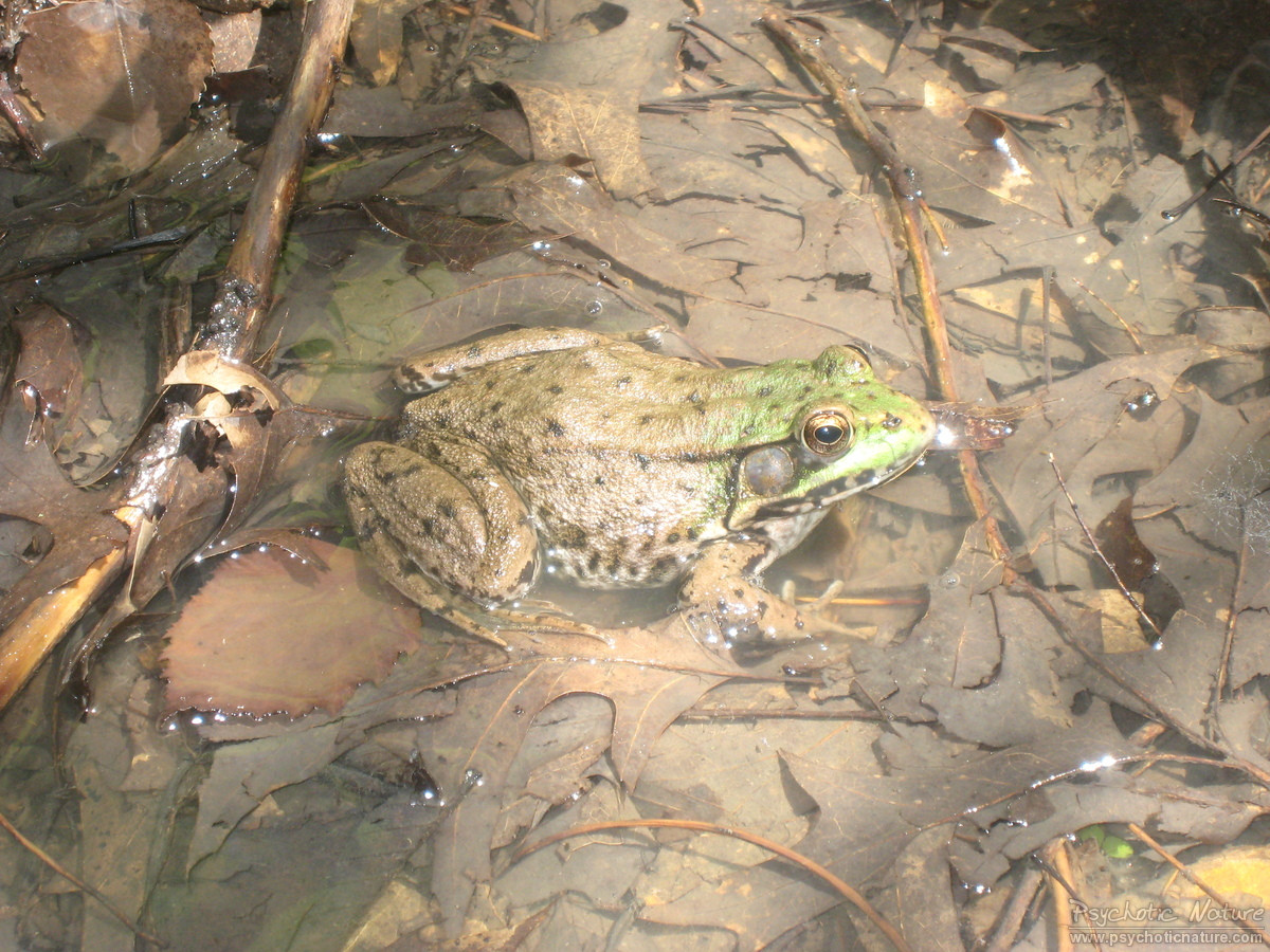 Northern Green Frog (Lithobates clamitans melanota)