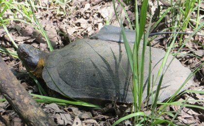 Wood Turtle (Glyptemys insculpta)