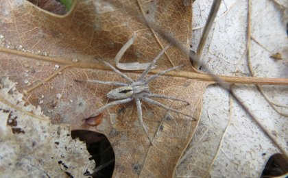 Running Crab Spider (Thanatus formicinus)