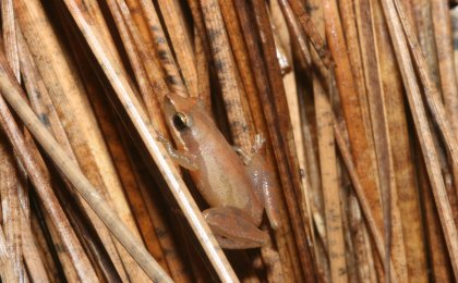 Little Grass Frog (Pseudacris ocularis)