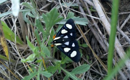 Eight-spotted Forest Moth (Alypia octomaculata)