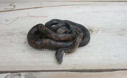 Black Rat Snake (Pantherophis obsoletus)