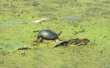 Westerm Painted Turtle (Chrysemys picta bellii)