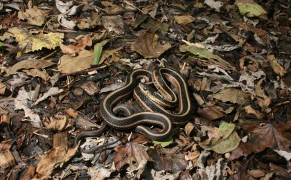 Red-sided Gartersnake (Thamnophis sirtalis parietalis)