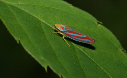 Candy-striped Leafhopper (Graphocephala coccinea)