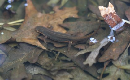 Central Newt (Notophthalmus viridescens louisianensis)