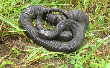 Copper-bellied Watersnake (Nerodia erythrogaster neglecta)