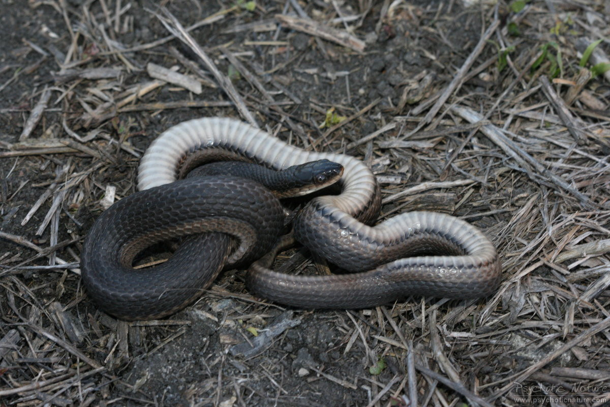 Graham's Crayfish Snake (Regina grahamii)