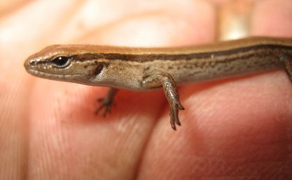 Little Brown Skink (Scincella lateralis)