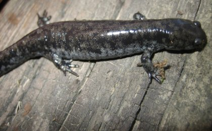 Small-mouthed Salamander (Ambystoma texanum)