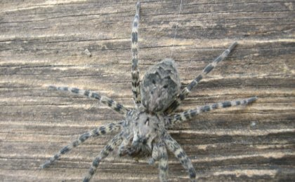 Dark Fishing Spider (Dolomedes tenebrosus)
