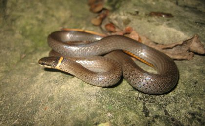 Mississippi Ring-necked Snake (Diadophis punctatus stictogenys)