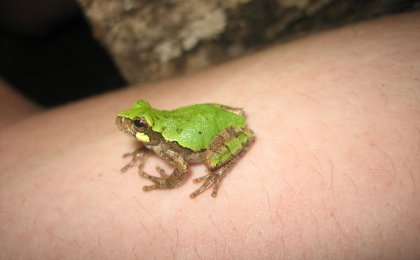 Bird-voiced Treefrog (Hyla avivoca)