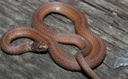 Red Bellied Snake Ontario Red Bellied Snake Ontario