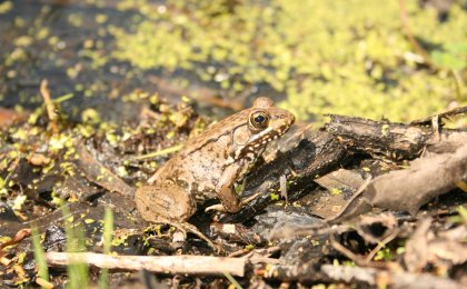 Bronze Frog (Lithobates clamitans clamitans)