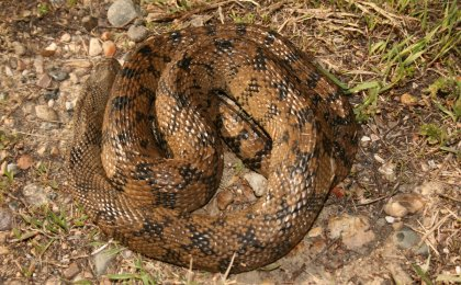 Diamond-backed Watersnake (Nerodia rhombifer)