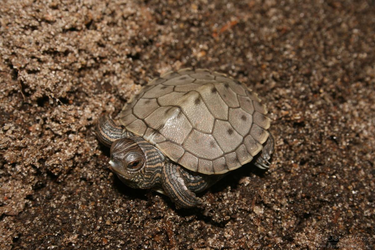 Turtles and tortoises false map turtle graptemys pseudogeographica