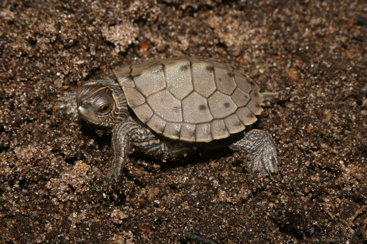 Turtles and tortoises false map turtle graptemys pseudogeographica