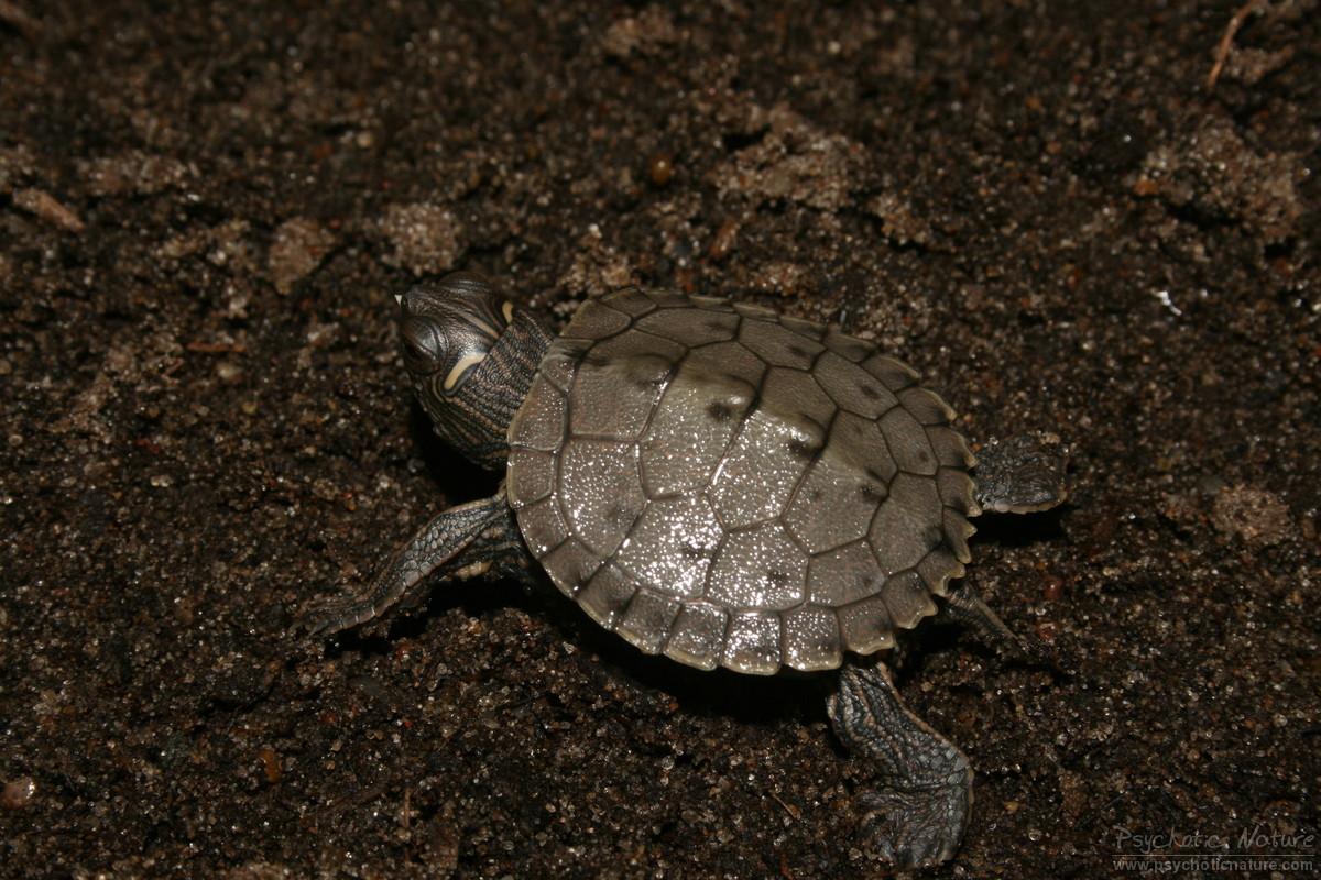 Amphibians Toads False Map Turtle (Grap...